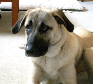 KANSAS Dafne, an adopted Anatolian Shepherd Mix in Queen Creek, AZ