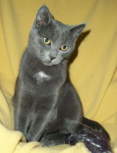 Tyler, an adopted Russian Blue & Domestic Short Hair Mix in Spencer, NY