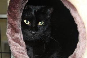 Austin Bombay Cat