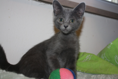 BooBoo, an adopted Domestic Short Hair Mix in Fort Wayne, IN