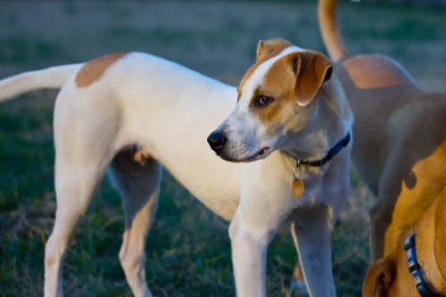 Dempsey, an adopted Shepherd & Jack Russell Terrier Mix in Tanner, AL