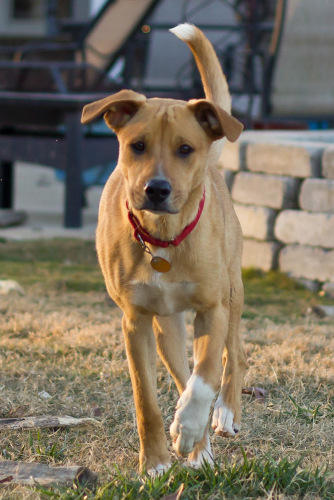 Carter, an adopted Shepherd & Jack Russell Terrier Mix in Tanner, AL