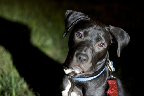 Winston, an adopted Pit Bull Terrier Mix in Reisterstown, MD