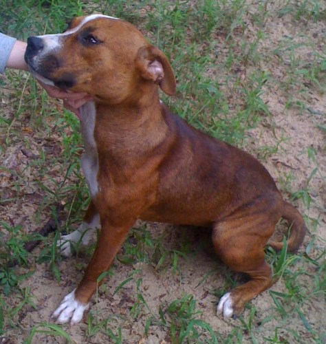 Stella, an adopted Pit Bull Terrier Mix in Tallahassee, FL