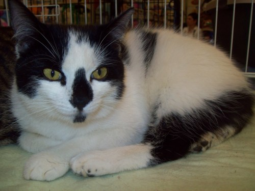 Charis, an adopted Domestic Short Hair & American Bobtail Mix in Tallahassee, FL