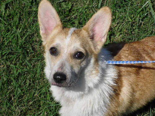 Martina, an adopted Corgi Mix in Monticello, IA