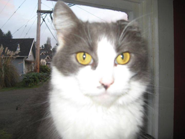 Roo, an adoptable Domestic Medium Hair in Coos Bay, OR