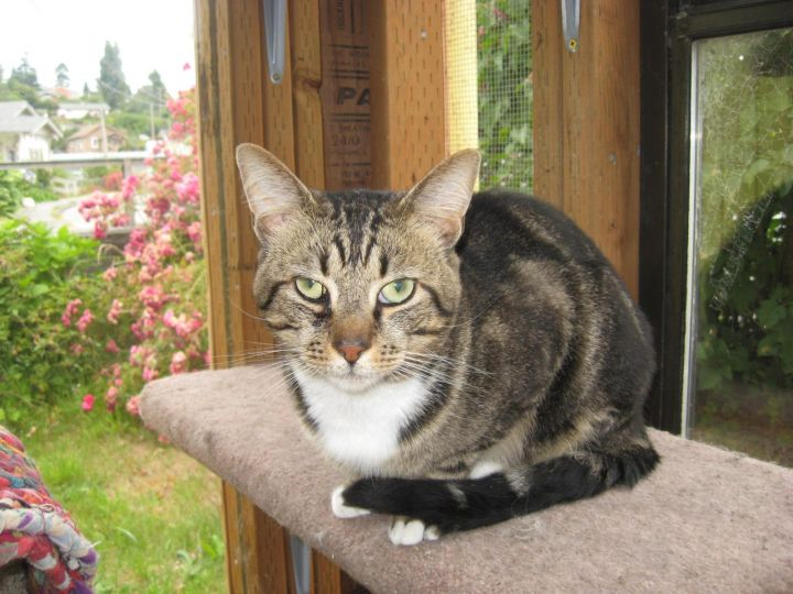 Timmy, an adoptable Domestic Short Hair in Coos Bay, OR