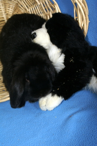 Trick, an adopted Mini Lop Mix in Appleton, WI