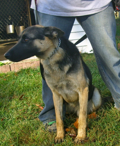 Titus - Urgent, an adopted German Shepherd Dog Mix in Brookville, IN