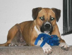 Remy is around 1-2 yr old and weighs 75 pounds a boxershepherd mix spayed vaccinated house-trai