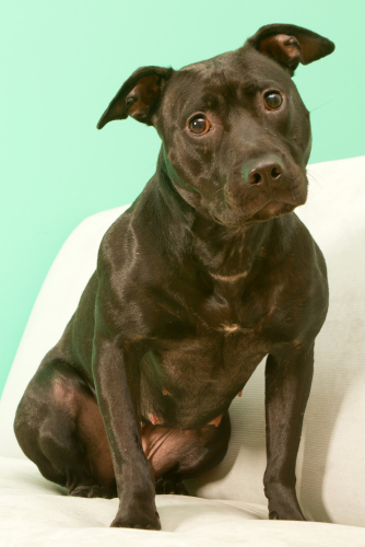Starry Night, an adopted Pit Bull Terrier & Retriever Mix in Troy, MI