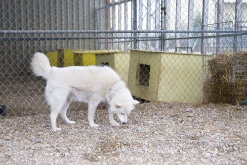 Kimmie, an adopted Husky & Eskimo Dog Mix in Fort Smith, NT