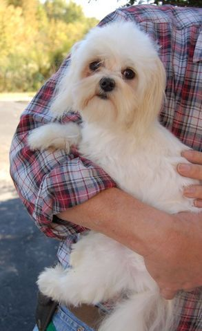 Adopted**Lightning ( TN ), an adopted Maltese Mix in Chattanooga, TN