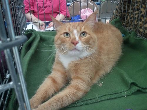 Zip, an adopted American Shorthair in Reisterstown, MD
