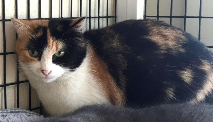 Cat for adoption - Barn Cats, a Domestic Short Hair Mix in ...