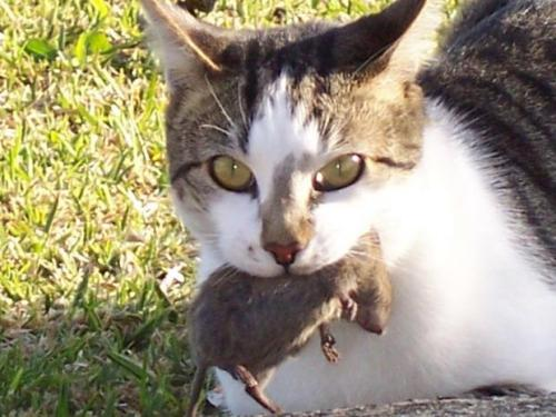 Cat for adoption - Mouser/Ratter Cat, a Domestic Short ...