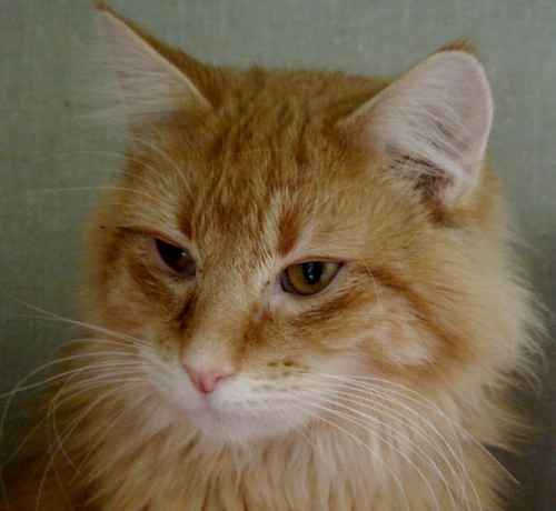 Dewey, an adopted Domestic Long Hair Mix in Stroudsburg, PA