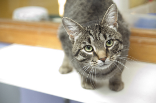 Verdie, an adopted Tabby Mix in Fort Smith, NT