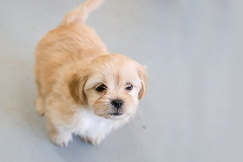 Jeri, an adopted Terrier & Shih Tzu Mix in Fort Smith, NT