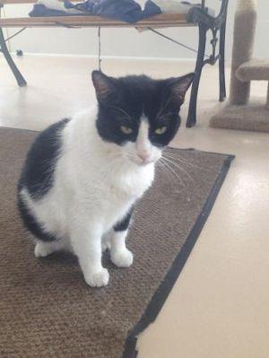 Macie Tuxedo Cat