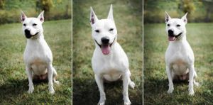 Hi My name is Jasmine and I am a 4 yr old Bull TerrierPit Bull Terrier Mix I