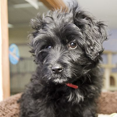 Neva, an adopted Shih Tzu Mix in Fort Smith, NT