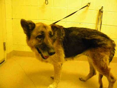 Shactzie, an adopted German Shepherd Dog in Brentwood, TN