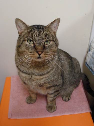 Kasey, an adopted Tiger in Westbrook, CT