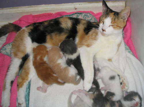 Chiclet, an adopted Calico in Dublin, OH