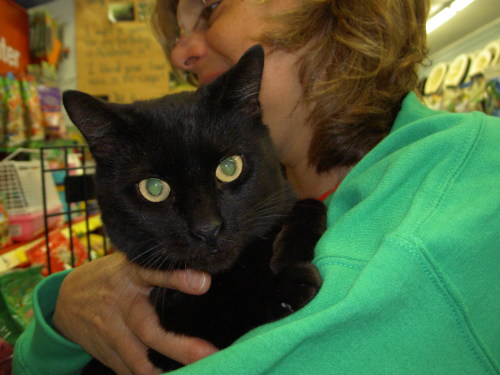 Audrey, an adopted Domestic Short Hair Mix in Westfield, NJ
