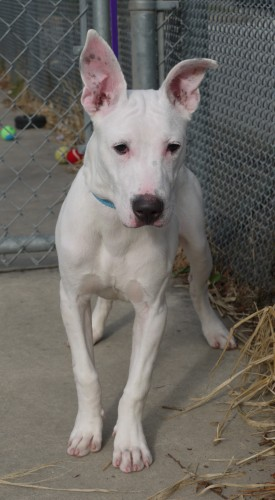 *Hayes (foster), an adopted Pit Bull Terrier in Blackwood, NJ