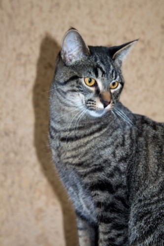 Batman, an adopted Tabby in Fort Smith, NT