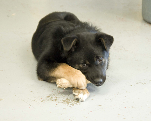 Vicky, an adopted Husky & Rottweiler Mix in Fort Smith, NT