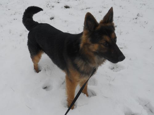 Sarge, an adopted German Shepherd Dog Mix in Fremont, OH