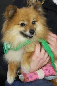 Anahola, an adopted Pomeranian in Washington, DC
