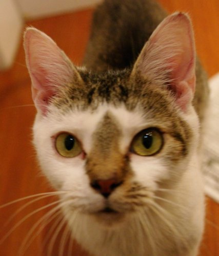 Charlotte, an adopted Domestic Short Hair in Baltimore, MD
