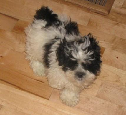 MAGIC!!, an adopted Shih Tzu & Poodle Mix in Woodsfield, OH