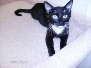 Doris Tuxedo Cat
