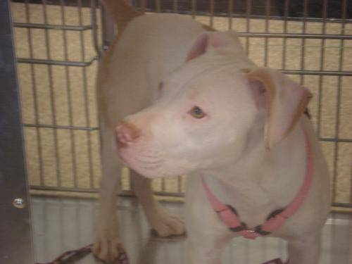 peaches, an adoptable Staffordshire Bull Terrier & Boxer Mix in Tonopah, AZ