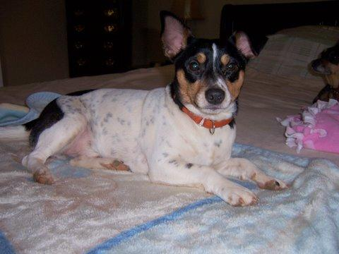 Brewster, an adopted Jack Russell Terrier in Ball Ground, GA