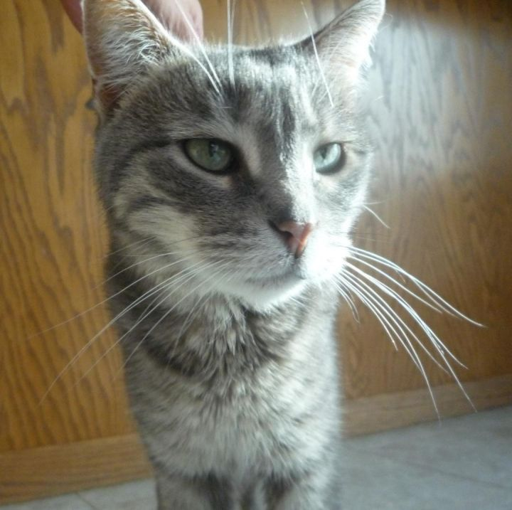 Pixie, an adoptable Domestic Short Hair in Fargo, ND