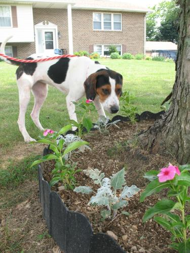 Xena, an adopted Coonhound in Shippensburg, PA