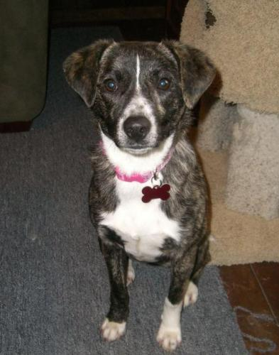 Lyla, an adopted Spaniel & Australian Shepherd Mix in Clinton, NJ