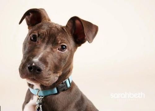 Oz, an adopted American Staffordshire Terrier in Minneapolis, MN