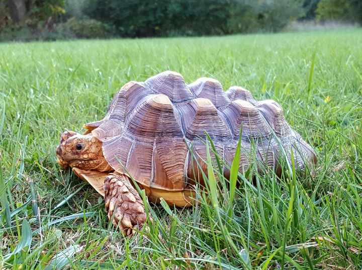 Tortoise for adoption - Sulcata tortoises, a Sulcata in