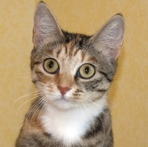 Mazie, an adopted Tabby & Calico Mix in Newtown, CT