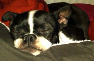 Clementine- NYC, an adopted Boston Terrier in New York, NY