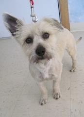 Charlie, an adopted Cairn Terrier & West Highland White Terrier / Westie Mix in Buffalo, MN