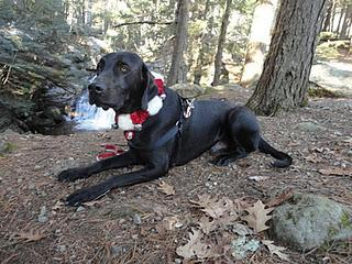 Jamis, an adopted Black Labrador Retriever & Great Dane Mix in Portland, ME